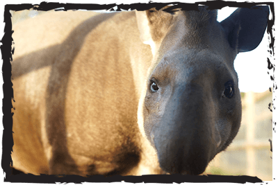 Lowland Tapir by Jimmy's Farm & Wildlife Park
