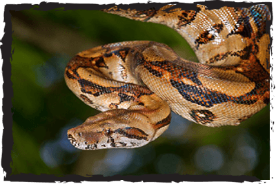 Common Boa at Jimmy's Farm