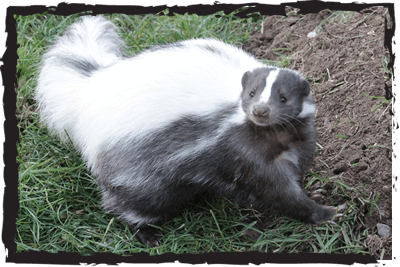 Striped Skunk at Jimmy's Farm & Wildlife Park Ipswich Suffolk