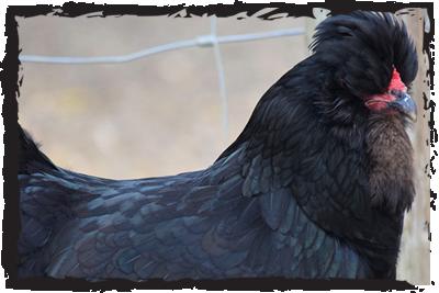 British Araucana chicken
