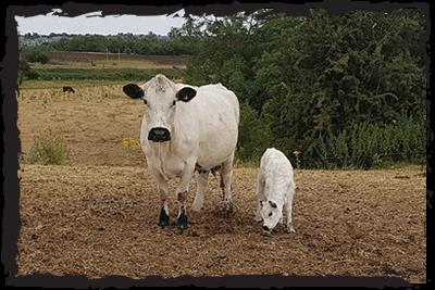 British White cow