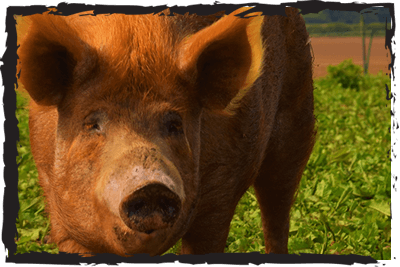 Tamworth, rare breed pig at Jimmy's Farm & Wildlife Park