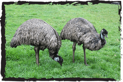 Emus at Jimmy's Farm & Wildlife Park