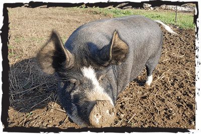 Berkshire rare breed pig
