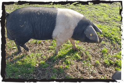 British Saddleback rare breed pig